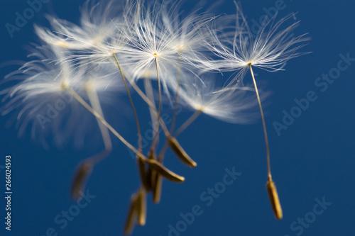 Fototapeta  Flying seeds of dandelion on blue background.