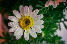 Daisy And Rain Drops