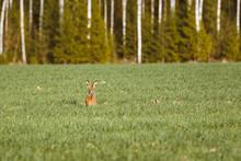 Furry Rabbit Having A Feast In...