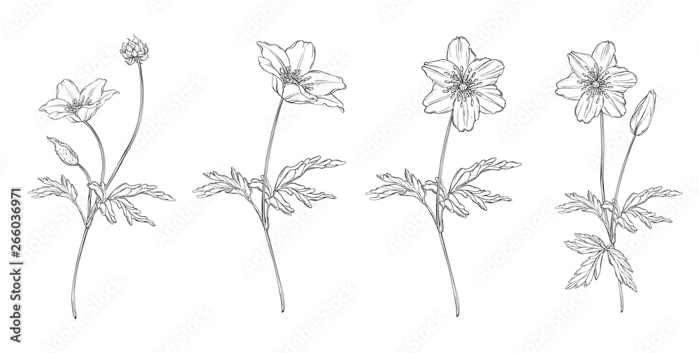 Fototapeta vector floral black and white composition set with anemone flowers