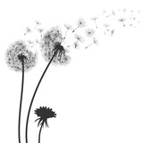 Fototapeta Dmuchawce - Abstract black dandelion, flying seeds of dandelion - for stock