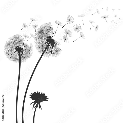 Fototapeta Abstract black dandelion, flying seeds of dandelion - for stock obraz