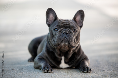 Poster Bouledogue français French bulldog canine portrait sitting outside on the pavement. Shot in natural light