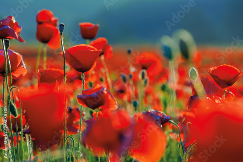 Foto auf Leinwand Rot kubanischen poppy flowers close up in the field. beautiful summer background