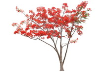 Red Flamboyant Royal Poinciana Flower Tree Isolated On White Background For Design Work