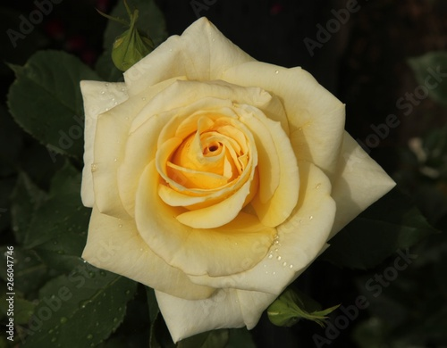 Outside closeup of single pale yellow garden rose with water drops