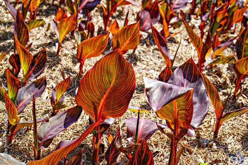 Canna Durban Leaves Canvas Print