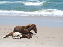 Wild Horses Resting On The Beach