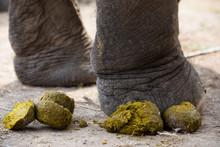 (Close Up) Elephant Legs, Elephant While Defecating,Fresh Elephant Dung Or Stool