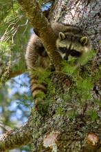 Juvenile Raccoon Up An Evergre...