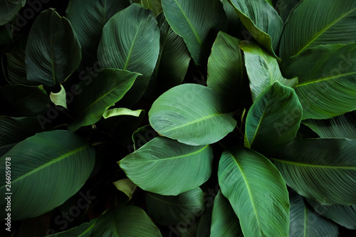 Fotobehang Natuur Large foliage of tropical leaf with dark green texture, abstract nature background. vintage color tone.