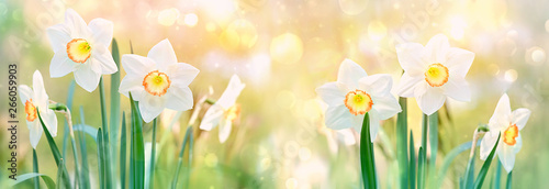 Autocollant pour porte Narcisse beautiful daffodil flower. spring flower narcissus blossoms on nature green background on sunny day. flower spring season Background. banner. soft selective focus.