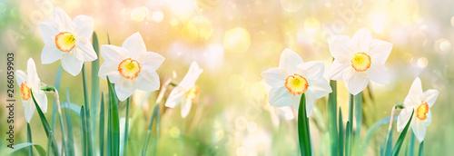 Fotografía beautiful daffodil flower