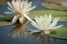 White Water Lily Blooming In A...