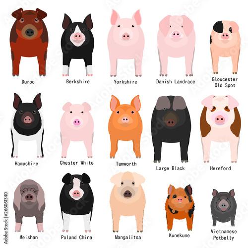 Obraz na płótnie pigs chart with breeds name