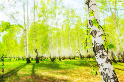 Birch with green leaves in a spring forest at sunny day Canvas Print