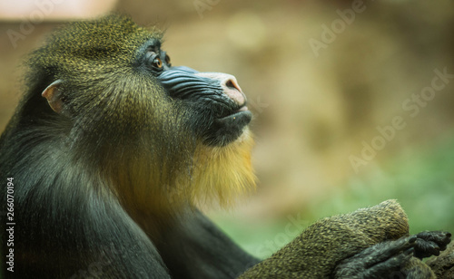 Large multicolor mandrill with expressive face Canvas Print