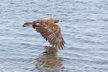 Flying Young Bald Eagle