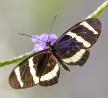 Hewitson's Longwing (Heliconiu...