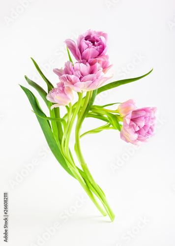 Fototapety, obrazy: Pink peony tulip flowers on white background.