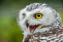 Portrait Of A Snowy Owl (Bubo Scandiacus)