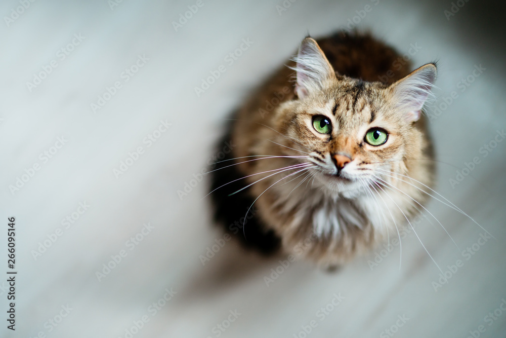 Fototapeta Hungry cat with green eyes looking and waiting for food