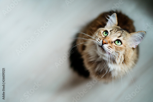 Fotomural Hungry cat with green eyes looking and waiting for food