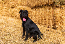 Black Dog And Bales Of Straw