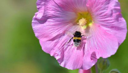 close on bumblebee on pink flower on green background