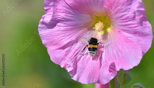 obraz lub plakat close on bumblebee on pink flower on green background