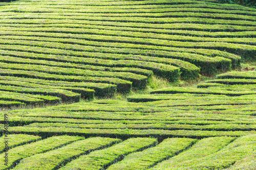 Foto auf Gartenposter Reisfelder Tea plantations, unique in Europe, Portugal, Sao Miguel island, Portugl