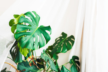 Tropical Monstera on white background