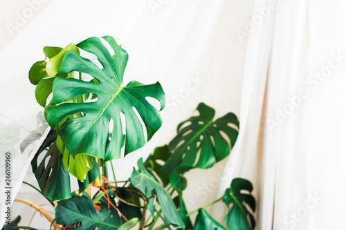 Fototapety, obrazy: Tropical  Monstera on white background