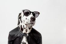 Dalmatian Dog Dressed Up In Black Jacket With Dark Sunglasses Sits On White Background. Rocker Dog. Сool Biker Dog. Copy Space
