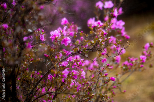 flowering of maralnik, bagulnik in early spring in the Altai mountains Canvas Print