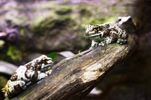 A Brown Spotted Frog Is Sitting On A Branch In An Aquarium
