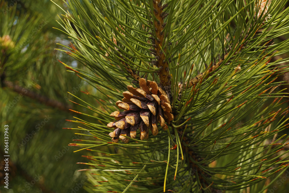 Fototapety, obrazy: Black pine. This tree is a raw material of essential oils and other substances used in medicine and cosmetics.