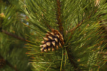 Black Pine. This Tree Is A Raw Material Of Essential Oils And Other Substances Used In Medicine And Cosmetics.