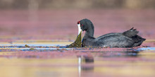 One Red Knobbed Coot Looking F...