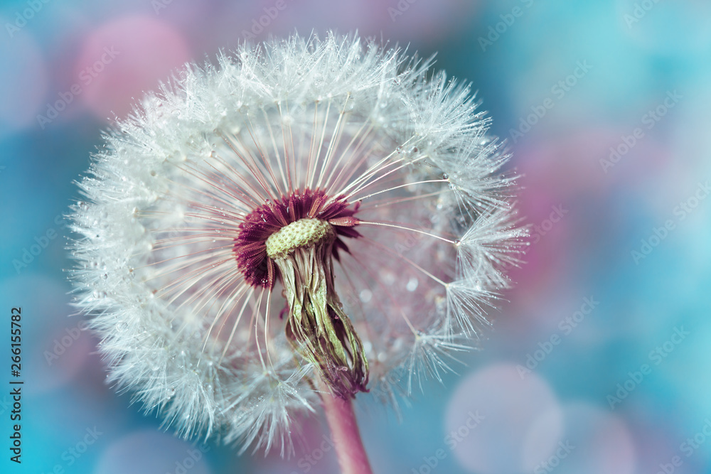Fototapety, obrazy: Macro shot of beautiful dandelion flower with water drops on turquoise colorful background. Spring or summer nature scene.