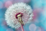 Fototapeta Dmuchawce - Macro shot of beautiful dandelion flower with water drops on turquoise colorful background. Spring or summer nature scene.