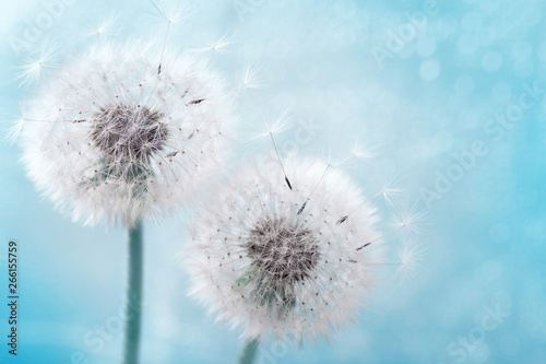 Two dandelion flowers with flying feathers on blue bokeh background. Beautiful dreamy nature card.