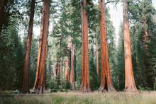 Giant Sequoia Trees In Sequoia...