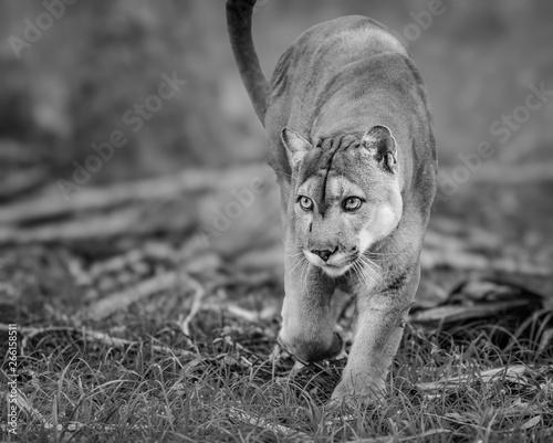 Poster Puma Florida Panther, puma, or cougar, walks through the brush as it stalks its prey monochrome.jpg