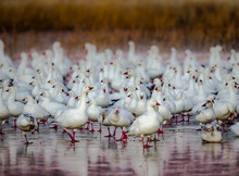 Hundreds Of Snow Geese Huddle Together For Warmth In New Mexico's Bosque Del Apache In December