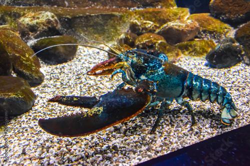Obraz na płótnie blue lobster lobster under the water crawls in the aquarium