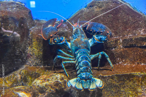 Fotografie, Obraz blue lobster lobster under the water crawls in the aquarium