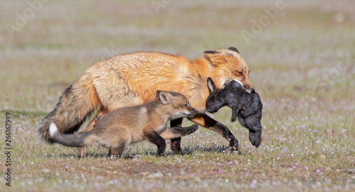 Red Fox and Kit with Rabbit Tablou Canvas