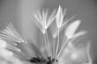 Leinwandbild Motiv Pusteblume schwarz/weiß