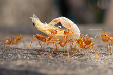 Red Ants Are Sending Food To Each Other,Teamwork